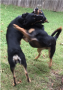 articles:two_dogs_fighting.png